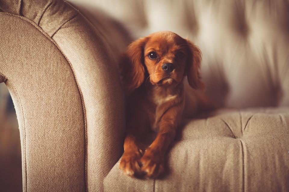 Brun cockerspaniel på brun sofa