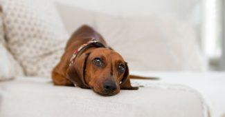 sofa - gravhund