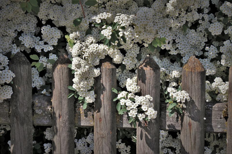 Blomstret hæk