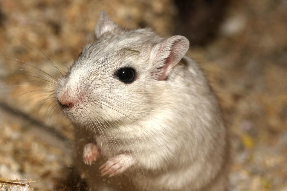 En hamster